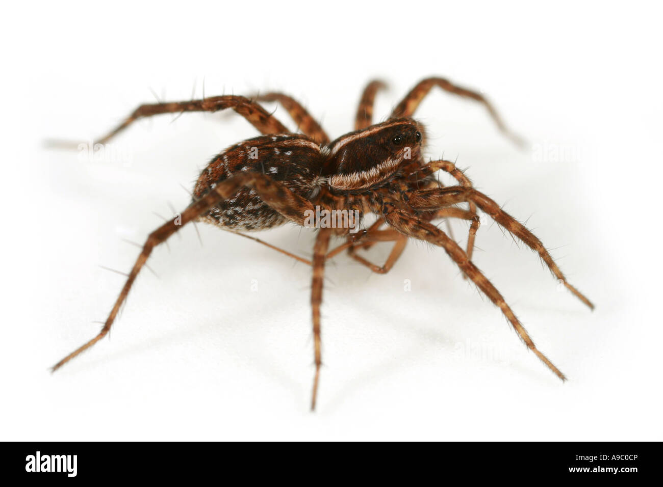 Pardosa palustris, a Wolf spider, family Lycosidae, on white background Still carrying its pray - Stock Image