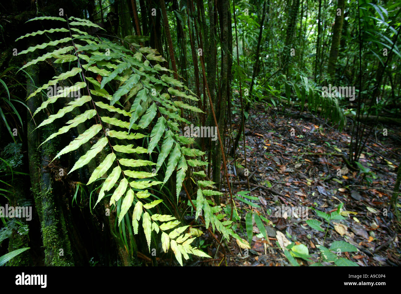 Leaves in the Pirre cloudforest in Darien national park, Darien province, Republic of Panama. Stock Photo