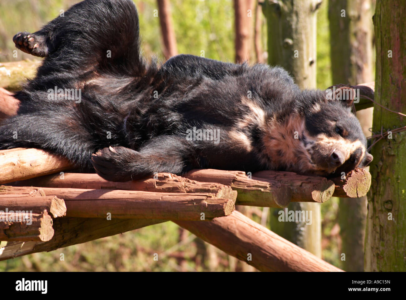 Relaxing Spectacled Bear Tremarctos ornatus Stock Photo