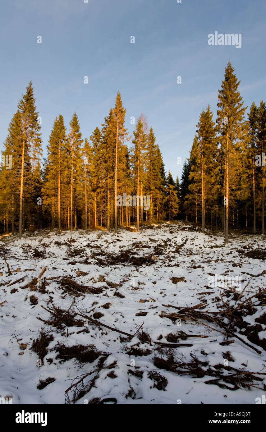 Clear-cutting area in Finnish forest at Winter at sunset , Finland - Stock Image