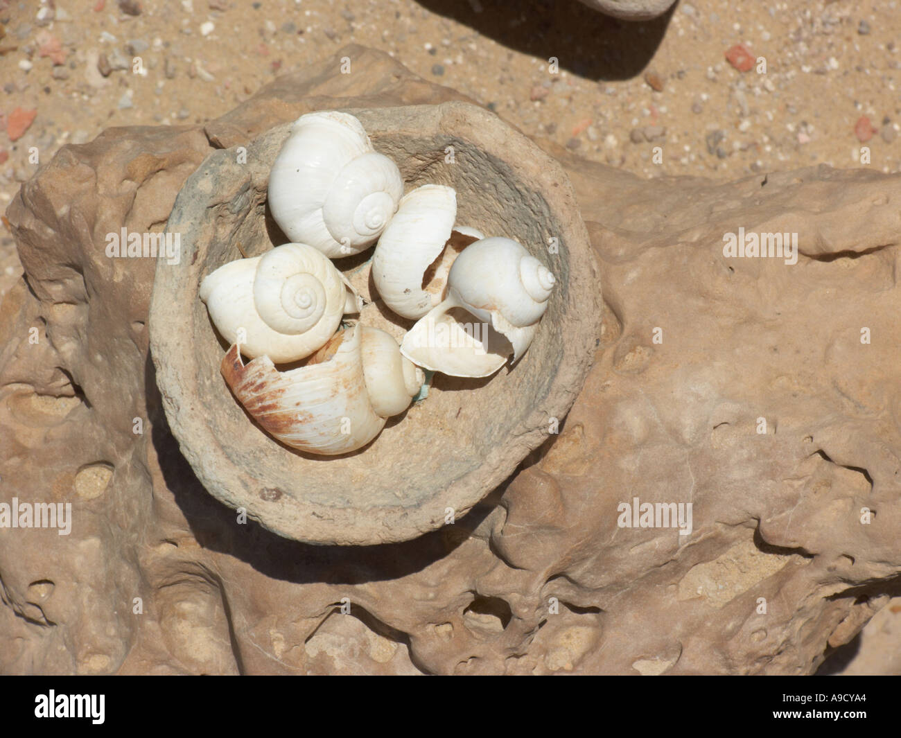 Shells collected in the Western Desert Egypt - Stock Image