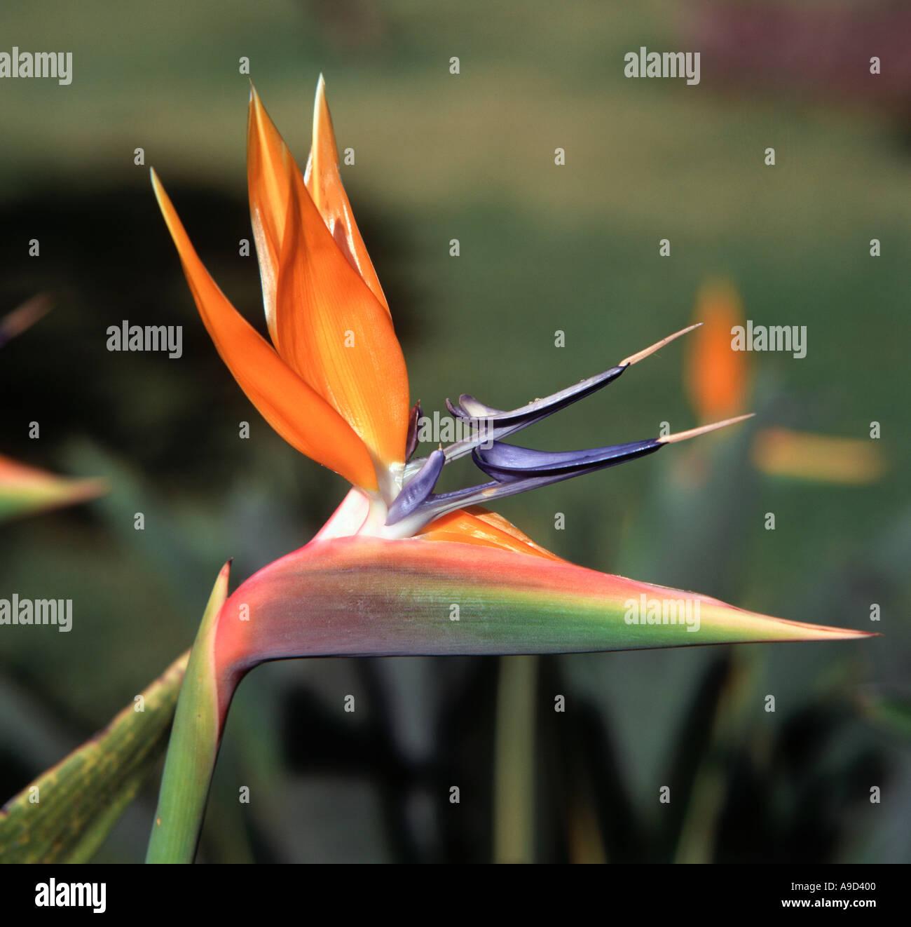 Bird of Paradise Flower (Strelitzia Reginae), Madeira, Portugal - Stock Image