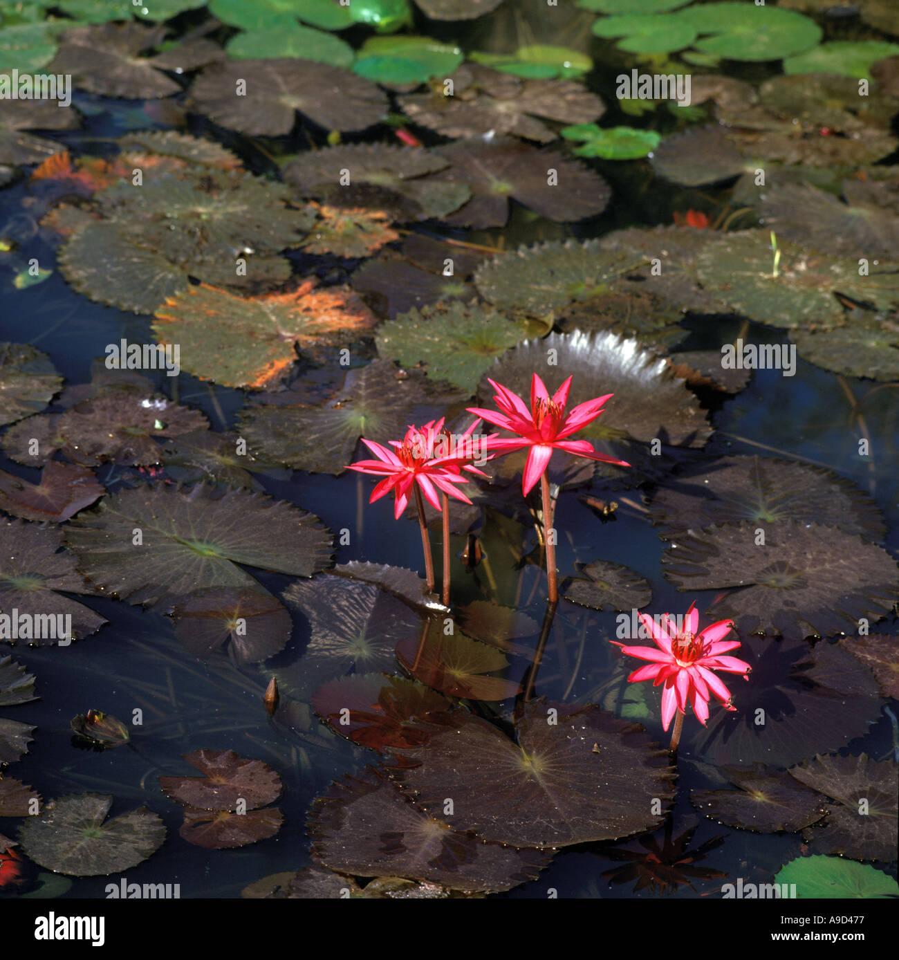 Water Lilies, Goa, India - Stock Image