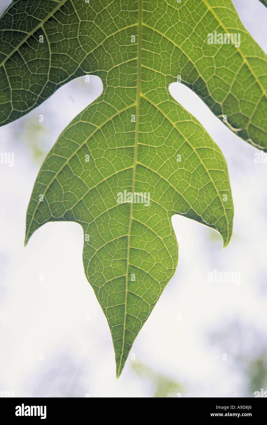 MBT77035 Fresh green color Papaya fruit tree leaf shaped like a ...