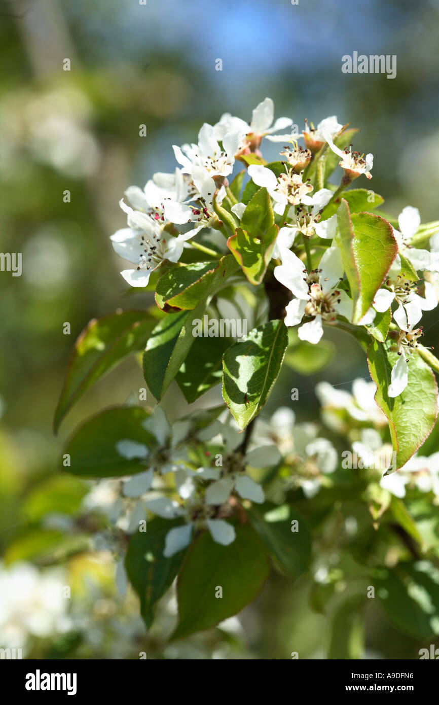 Korean Sun Pear Pyrus Fauriei 'Westwood' - Stock Image