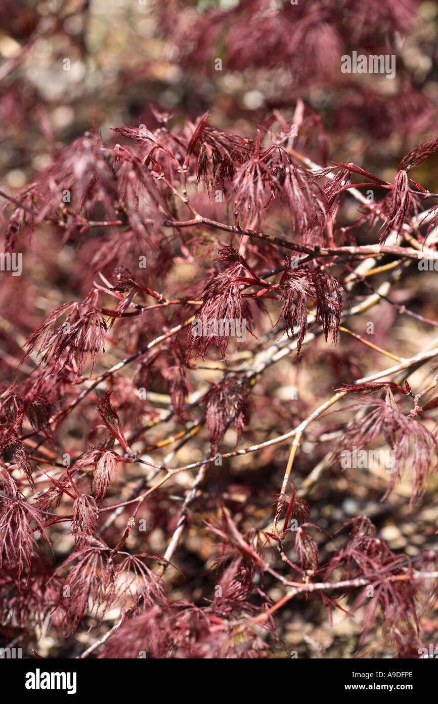 Laceleaf Japanese Maple Acer Palmatum Dissectum Red Filigree Lace