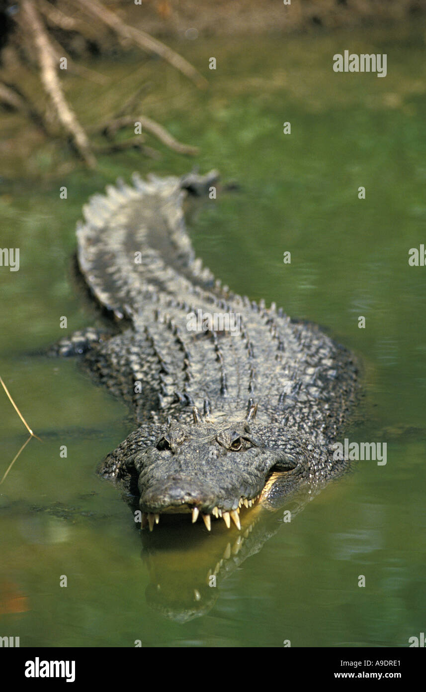 dp12134 SALT WATER CROCODILE Crocodylus porosus AUSTRALIA PACIFIC OCEAN Photo Copyright Brandon Cole - Stock Image