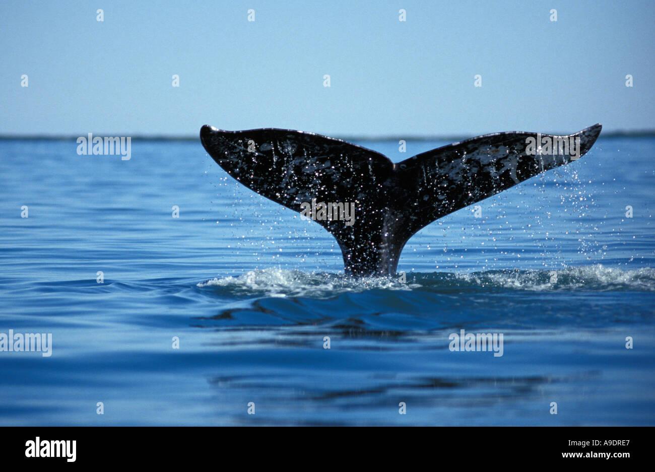 jn3832 GRAY WHALE Eschrichtius robustus BAJA MEXICO PACIFIC OCEAN Photo Copyright Brandon Cole - Stock Image