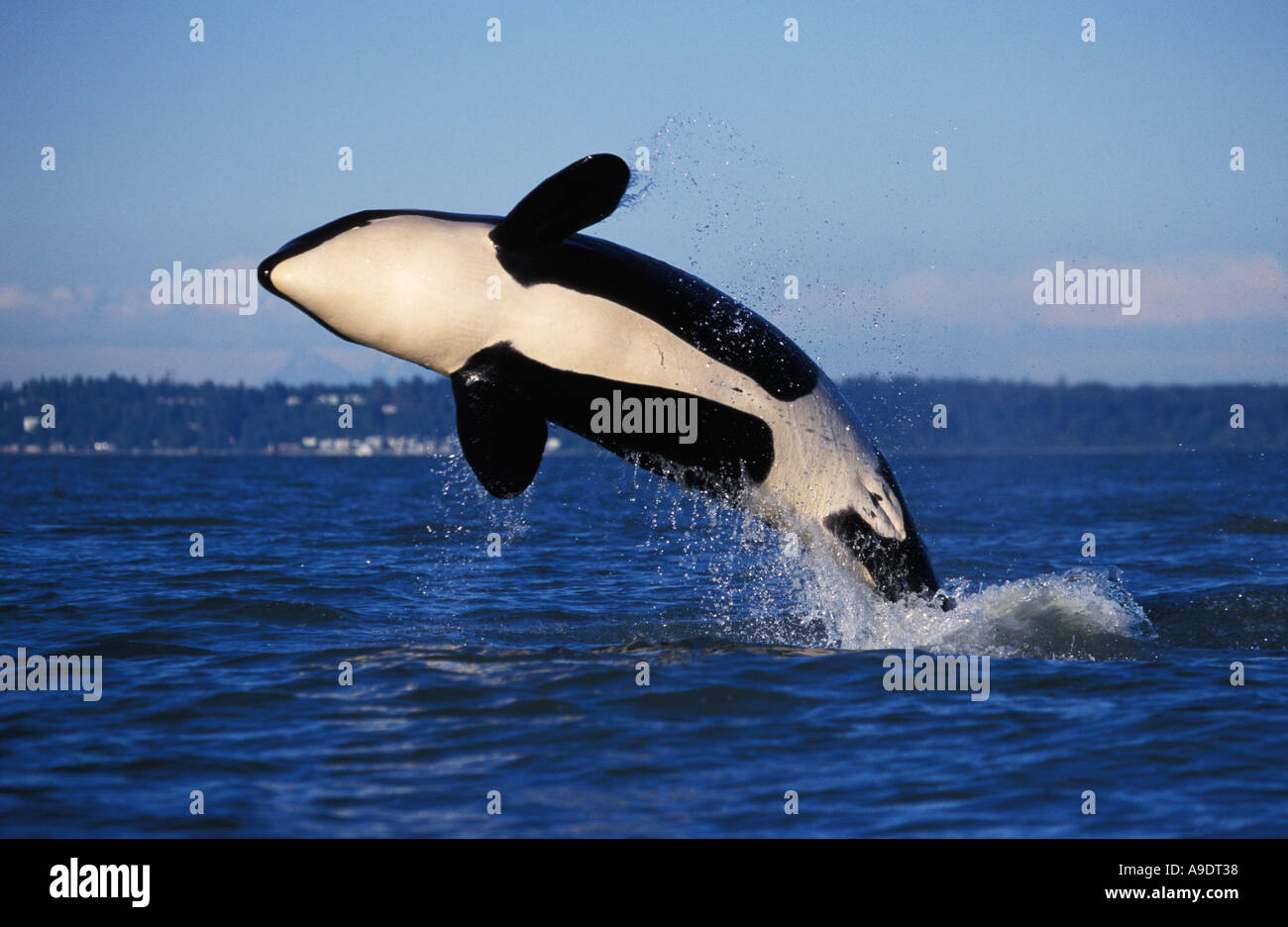 ns1 ORCA WHALE Orcinus orca breaching British Columbia Canada Pacific Ocean Photo Copyright Brandon Cole - Stock Image