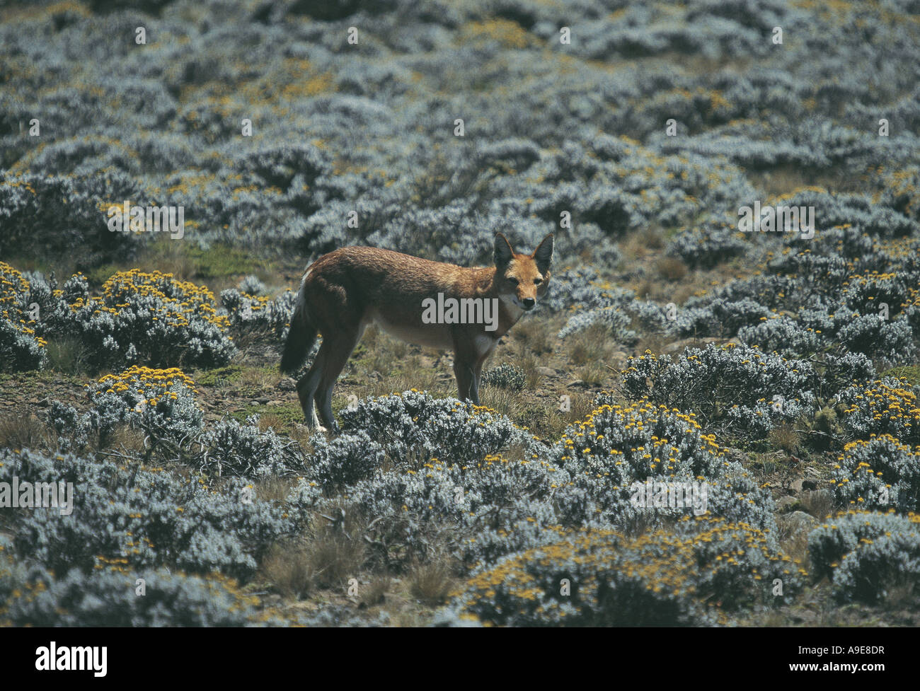 Canis Simensis Stock Photos & Canis Simensis Stock Images ...