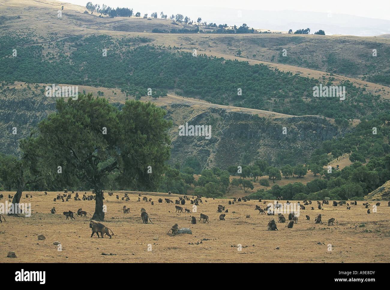 Big troop of Gelada Baboons in the Simien Mountains National Park Ethiopia - Stock Image
