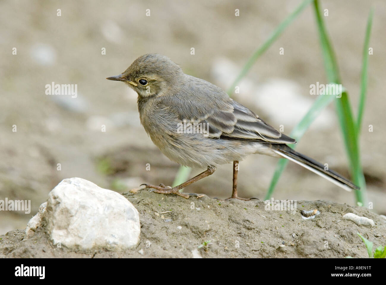 Pied Wagtail, Pied White Wagtail (Motacilla alba), young walking on sand - Stock Image