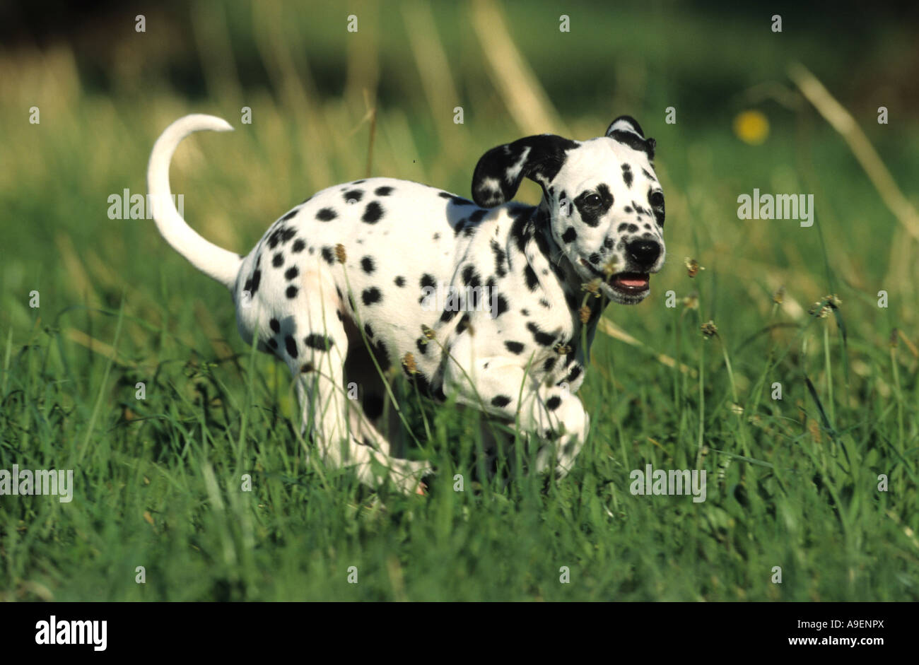 Dalmatian (Canis lupus familiaris), puppy running on meadow - Stock Image