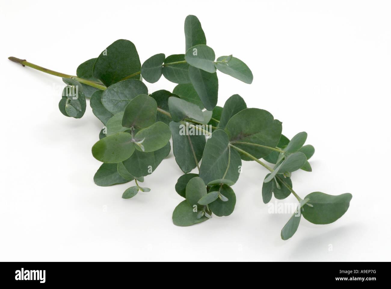 Cider Gum, Gunnil (Eucalyptus gunnii), twig, studio picture - Stock Image