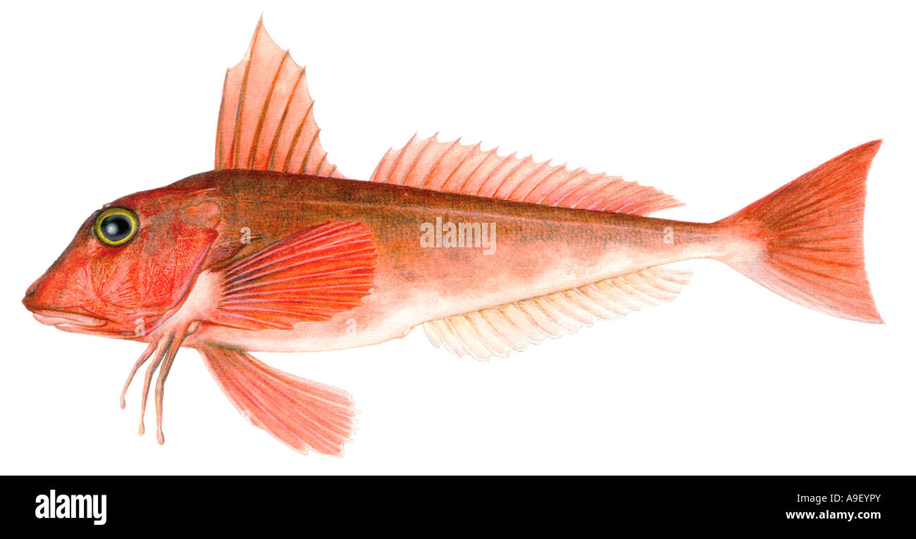 Red Gurnard (Aspitrigla cuculus), drawing Stock Photo