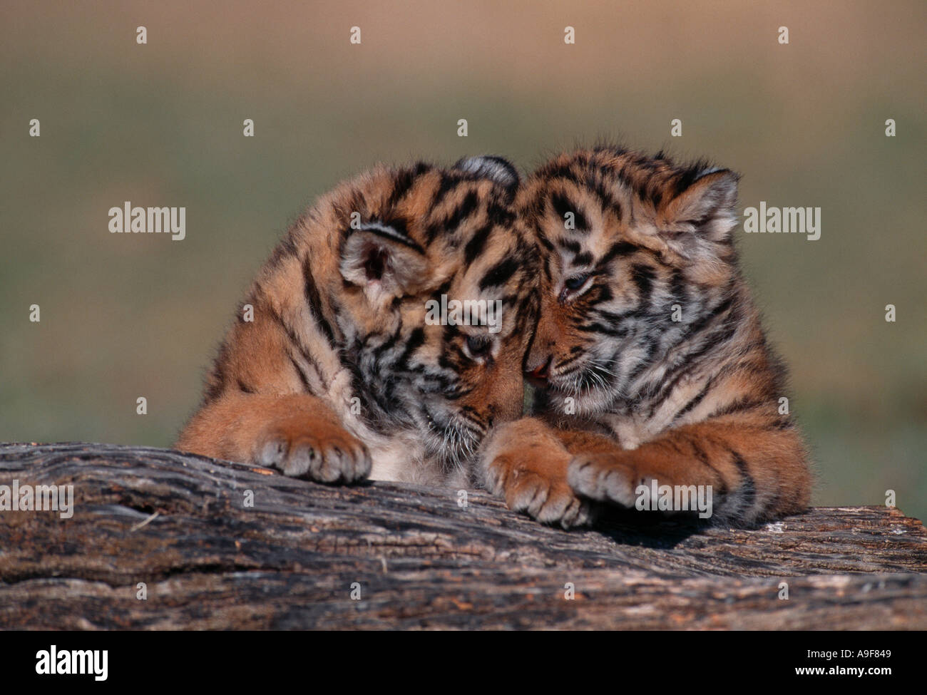 Two tiger cubs playing on log in captivity - Stock Image