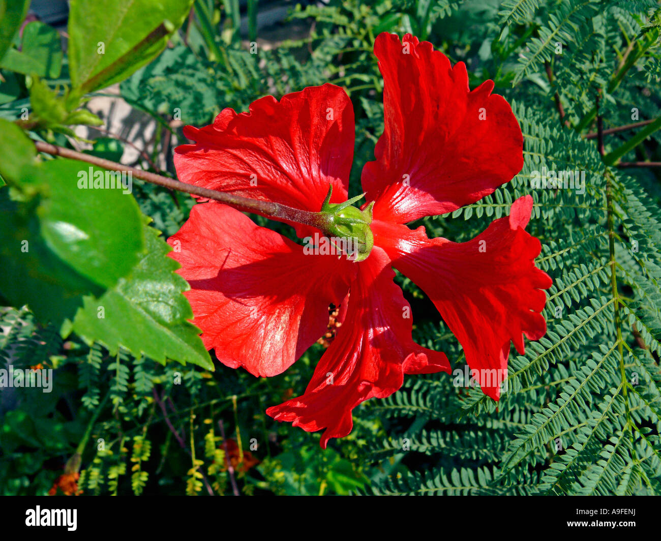 Red Hibiscus Rosa Sinensis Flower Medicinal Plant Stock Photo