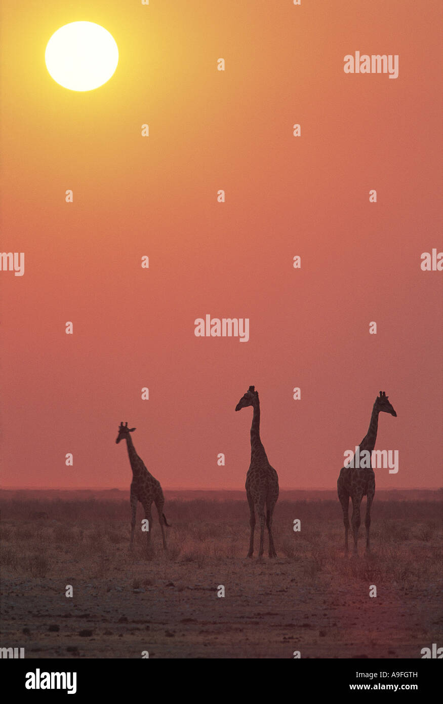 Common Giraffe Etosha National Park Namibia - Stock Image