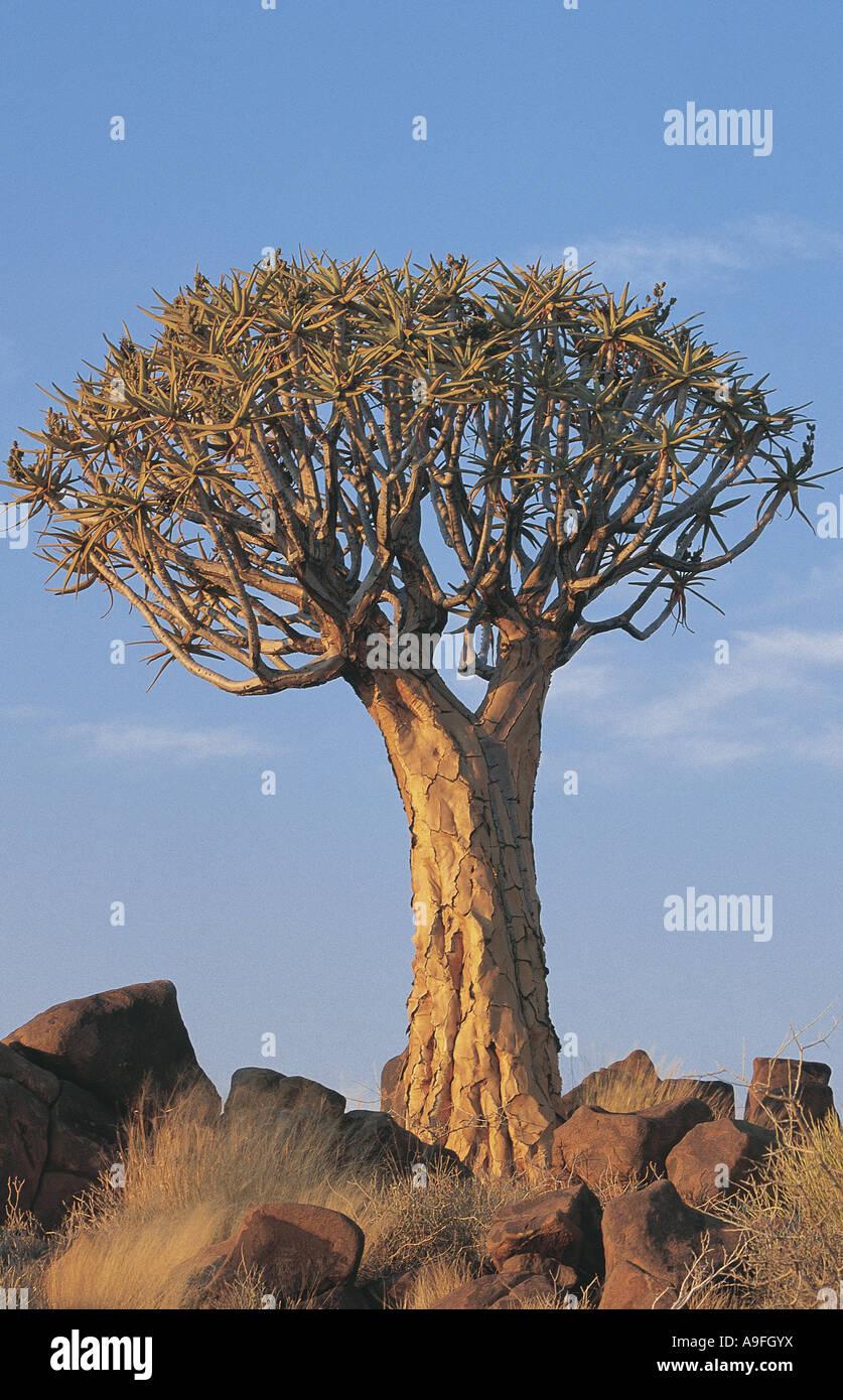 Quiver tree Keetmanskoop Namibia - Stock Image