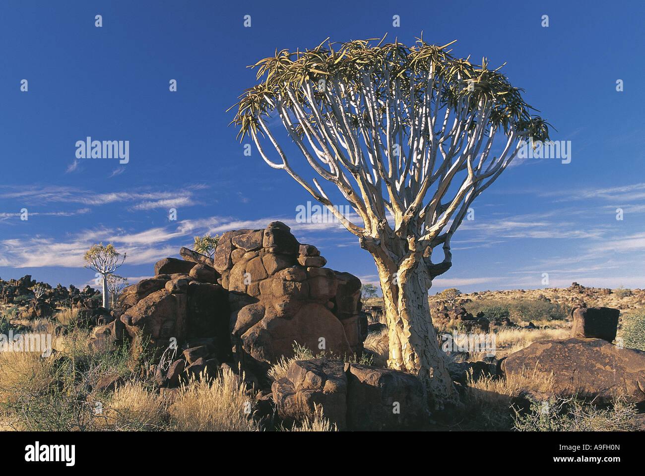 Quiver trees amongst granite boulders in Keetmanskoop Namibia - Stock Image