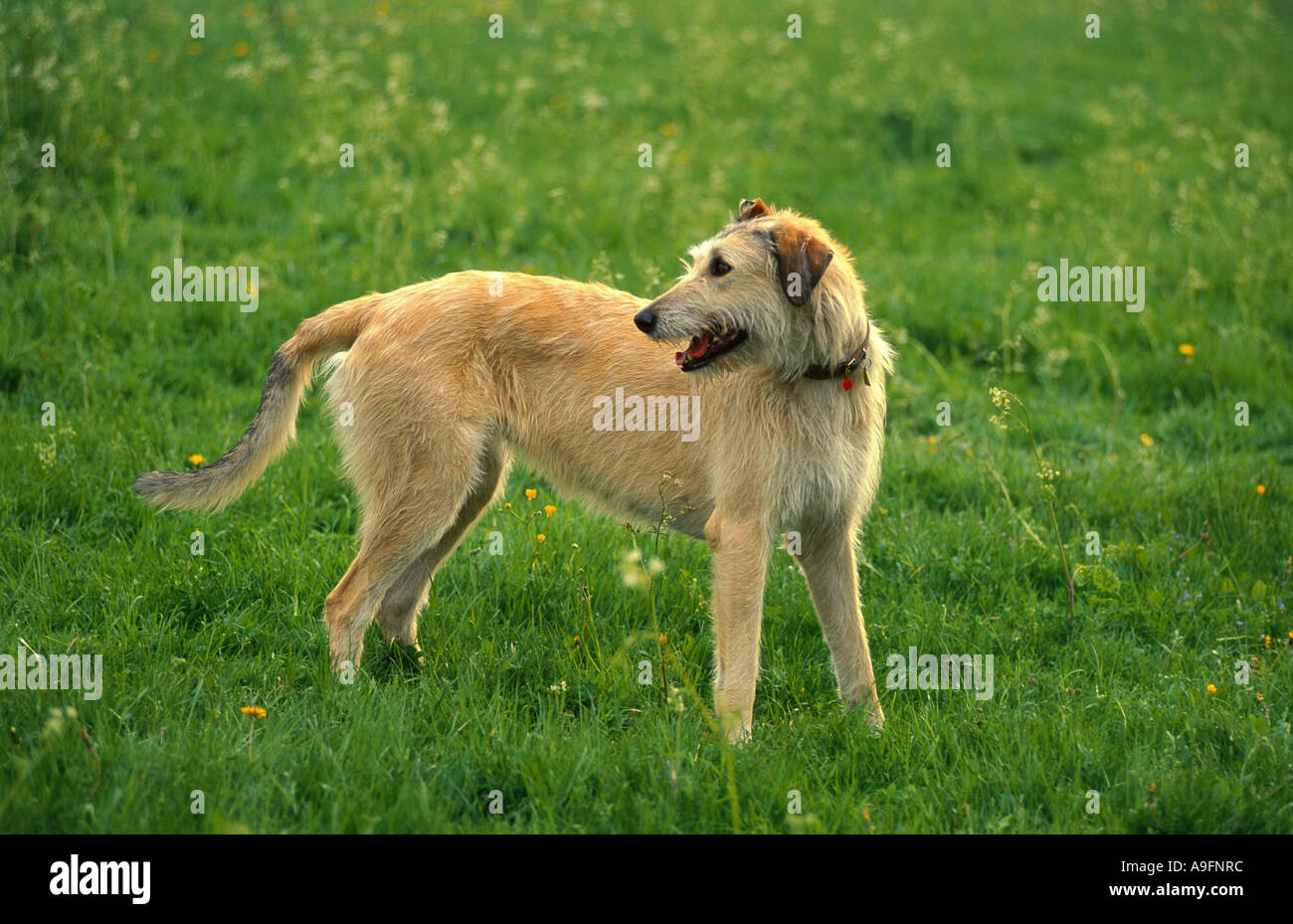 Irish Wolfhound (Canis lupus f. familiaris), standing on meadow Stock Photo