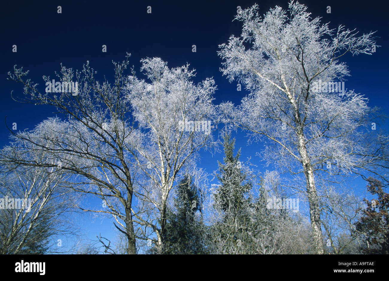 treetops covered with whitefrost, blue sky above, Germany, Oberbayern, Nature Reserve Maisinger See. Stock Photo
