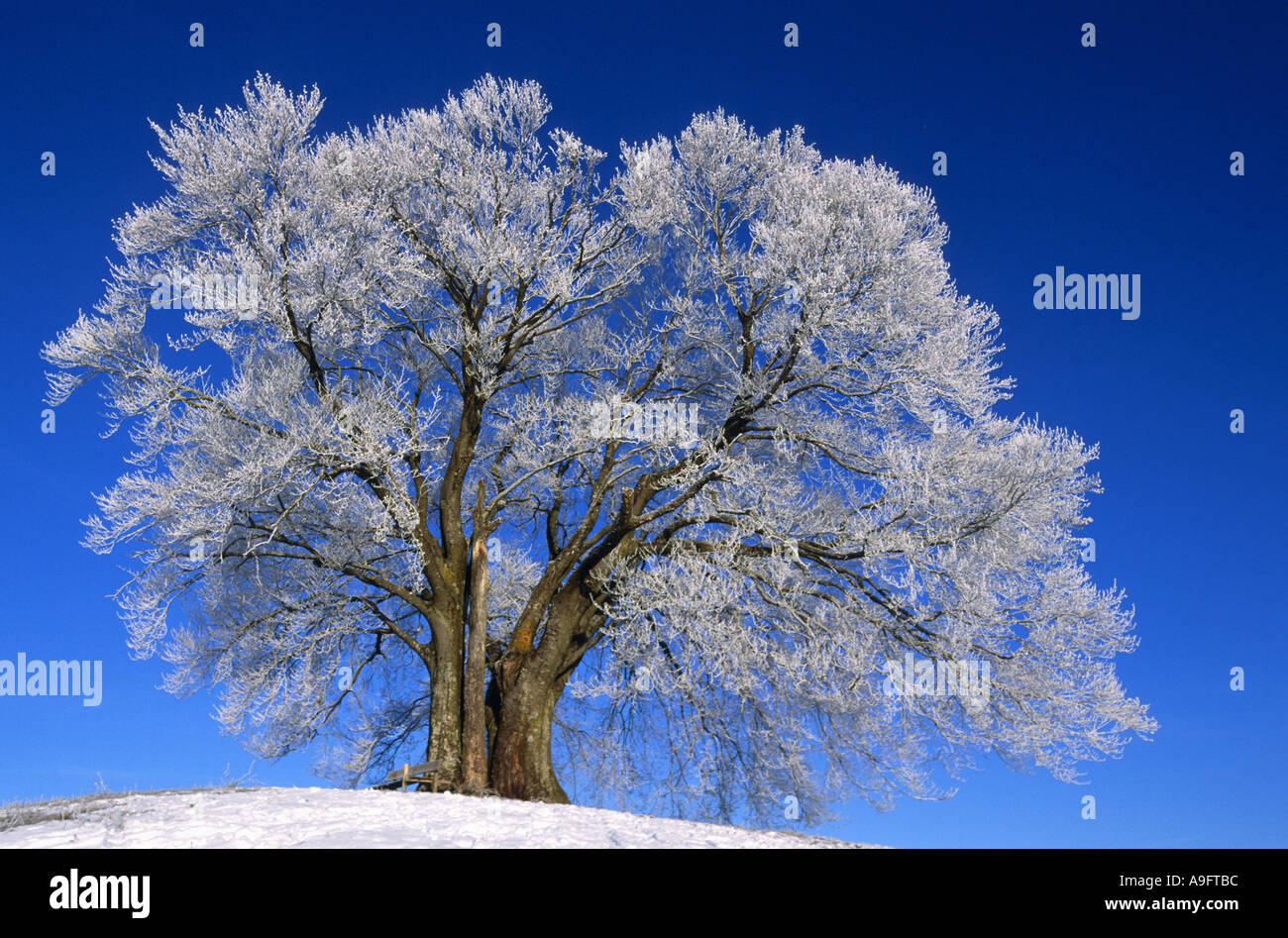 common beech (Fagus sylvatica), on a hilltop, covered with whitefrost, Germany, Bavaria. Stock Photo