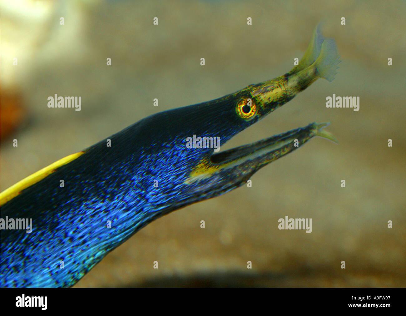 ribbon eel (Rhinomuraena quaesita), Indopacific - Stock Image