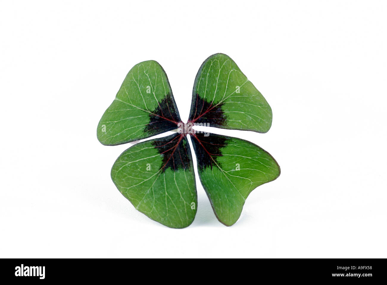 four-leafed clover (Oxalis tetraphylla), four-leafed clover Stock Photo
