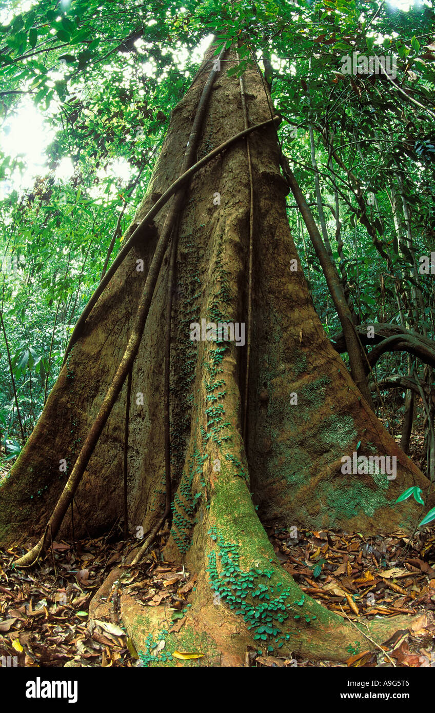 tree roots primary rainforest Langkawi Malaysia Stock Photo