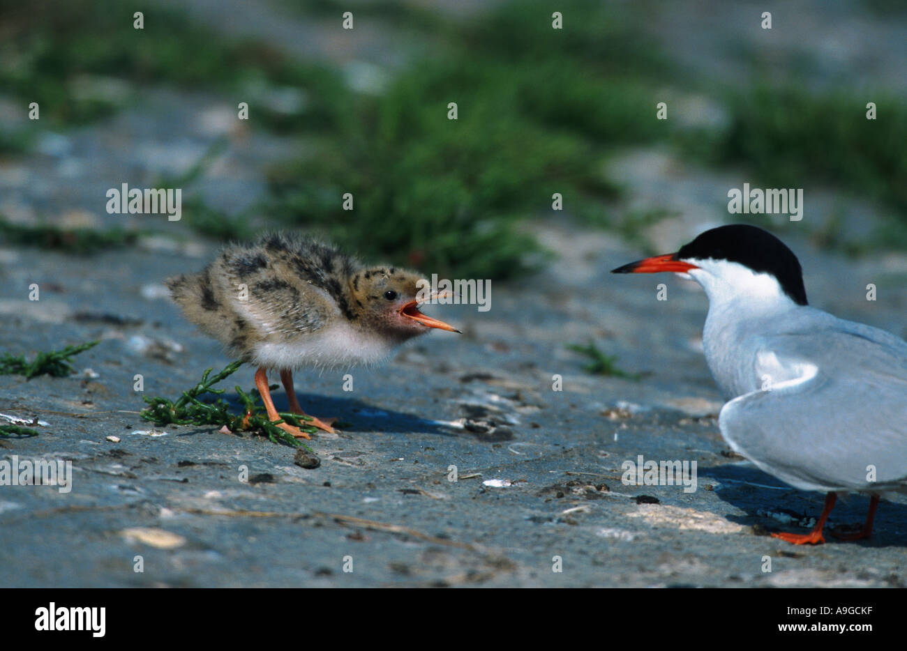common tern (Sterna hirundo), chicken begging for feed, Netherlands, Texel - Stock Image