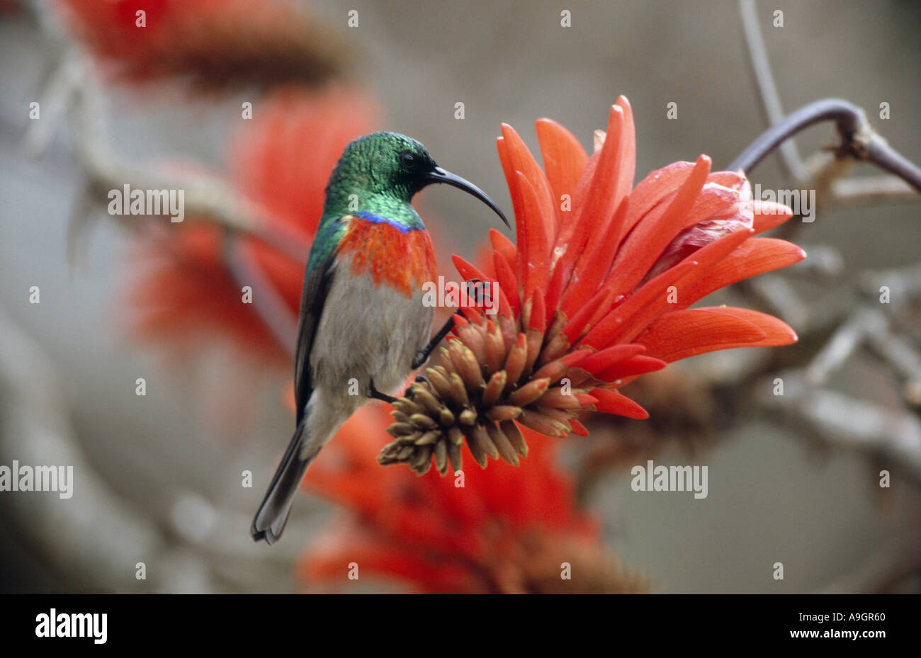 greater double-collared sunbird (Nectarinia afra), male, feeding on a flower of the Red hot poker tree, South Africa, Stock Photo