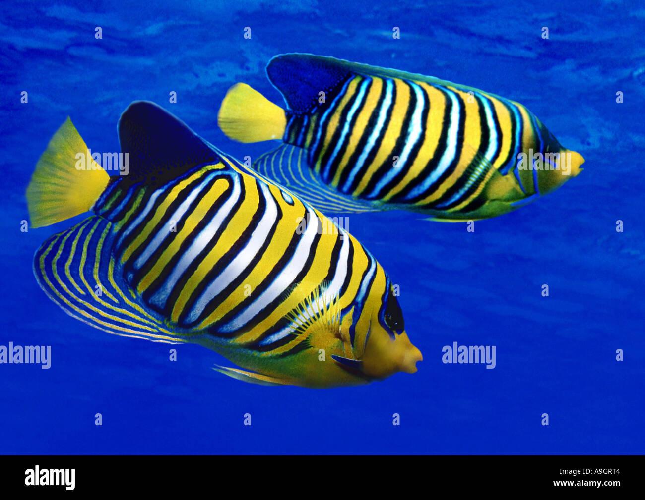 royal angelfish, blue-banded angelfish, regal angelfish (Pygoplites diacanthus), distribution: Indian Ocean - Stock Image