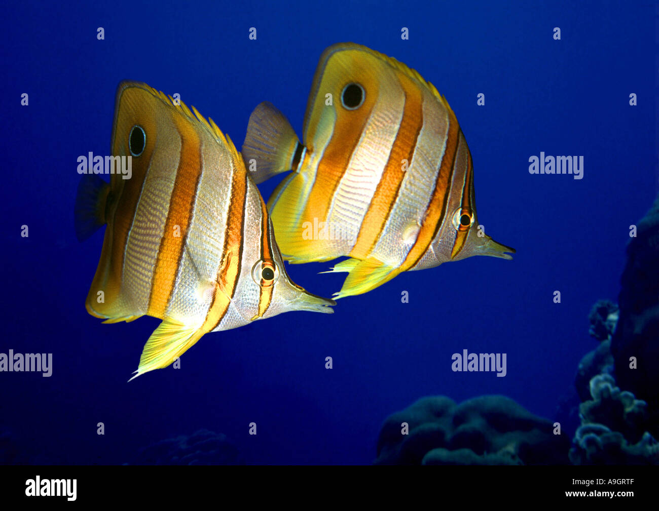 copper-banded butterflyfish, copperband butterflyfish, long-nosed butterflyfish, beaked coralfish (Chelmon rostratus), distribu - Stock Image