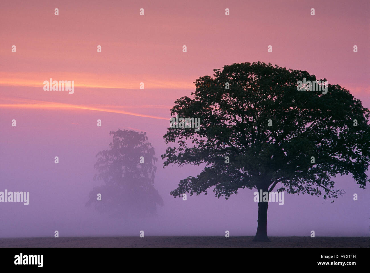 a tree silhouetted in the misty dawn at Milborne Port nr Sherborne Dorset England UK Stock Photo