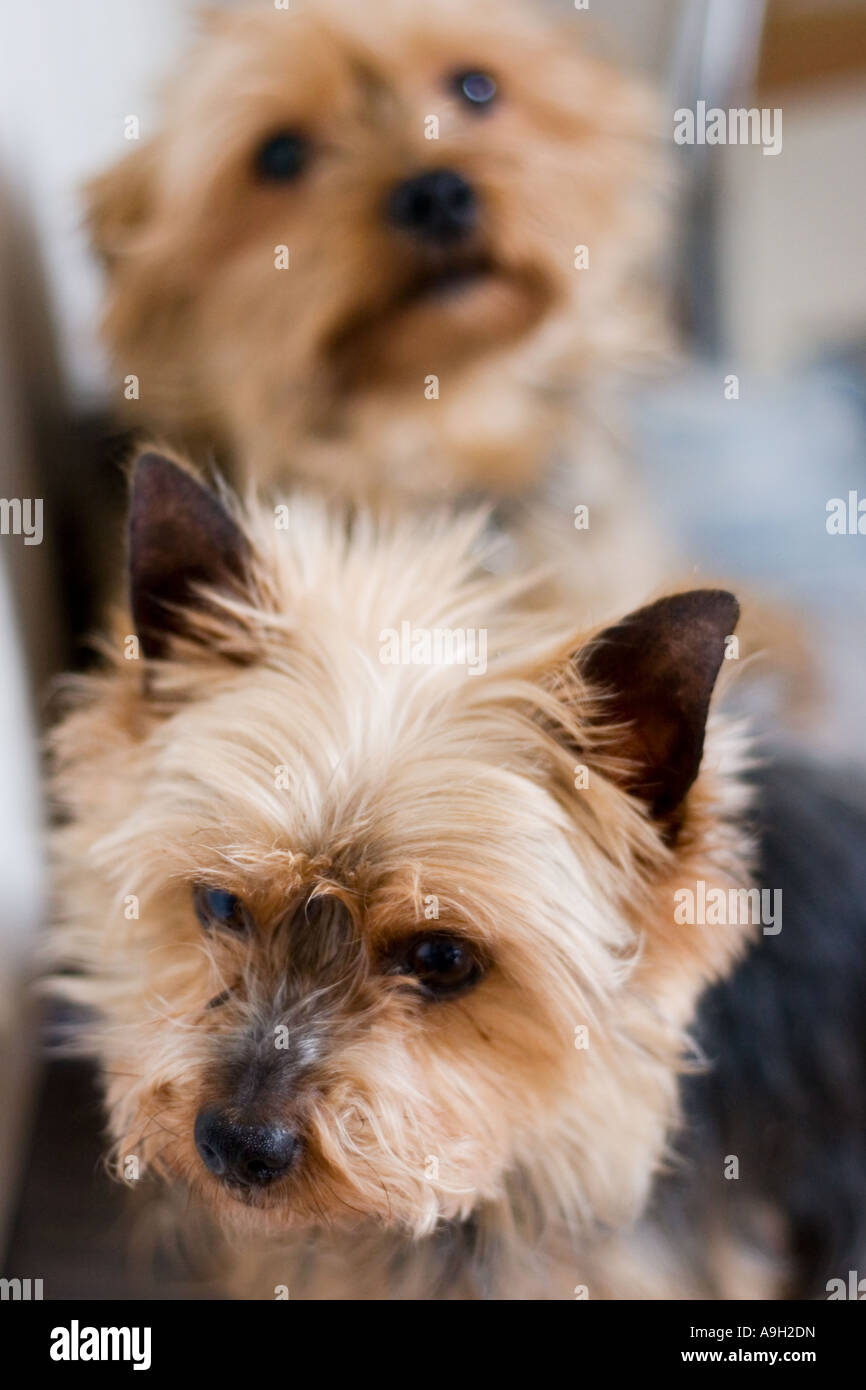 A pair of Yorkshire Terriers - Stock Image