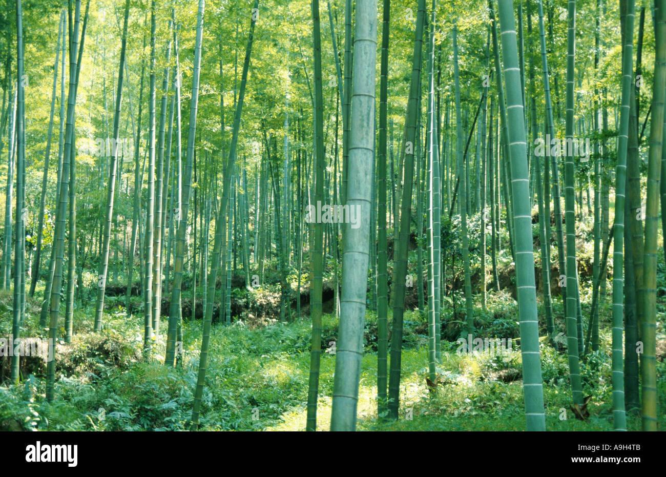 clumping bamboo (Bambusa spec.), bamboo forrest, China - Stock Image