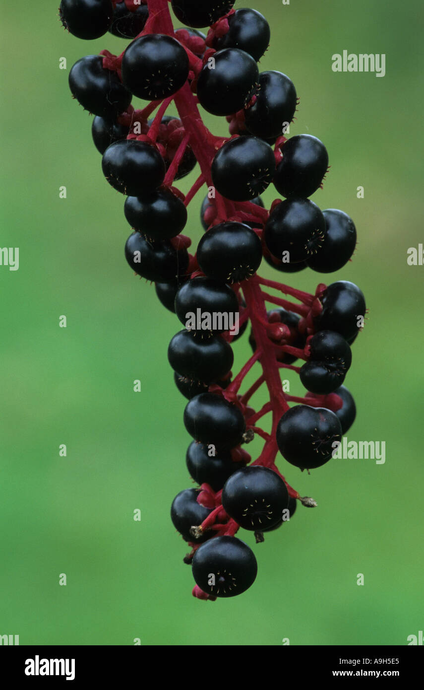 Pokeweed Phytolacca americana Fruits close up Michigan Autumn - Stock Image