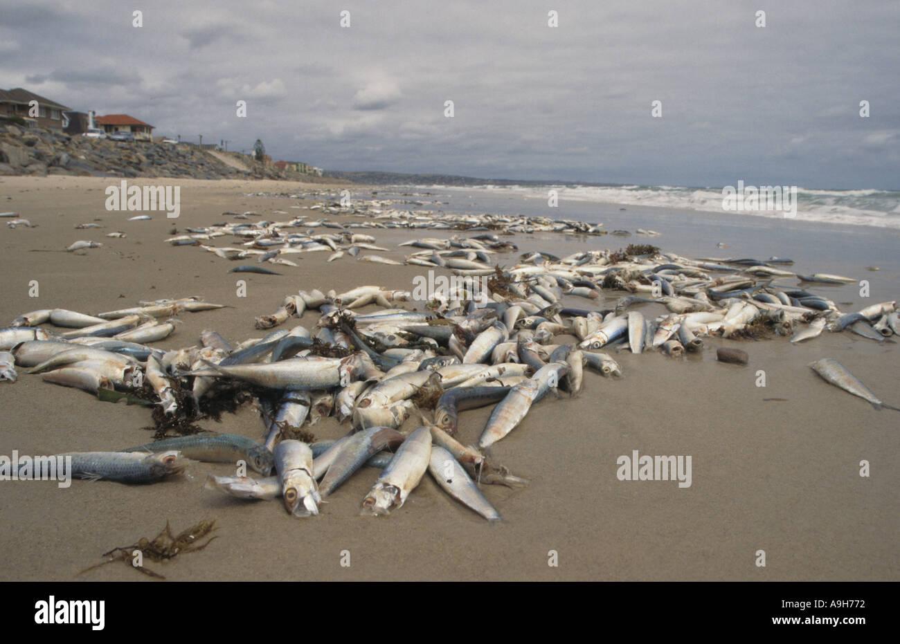 Pollution Dead Fish Pilchards dead on seashore South Australia - Stock Image