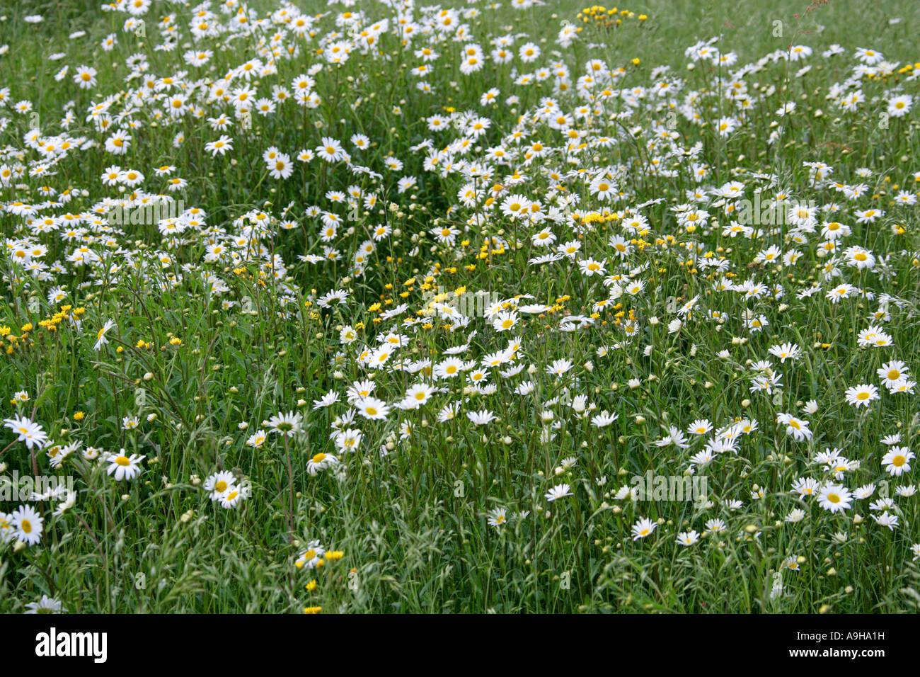 Ox Eye Daisies, Leucanthemum vulgare, and Nipplewort, Lapsana communis, in a Spring Meadow. Stock Photo