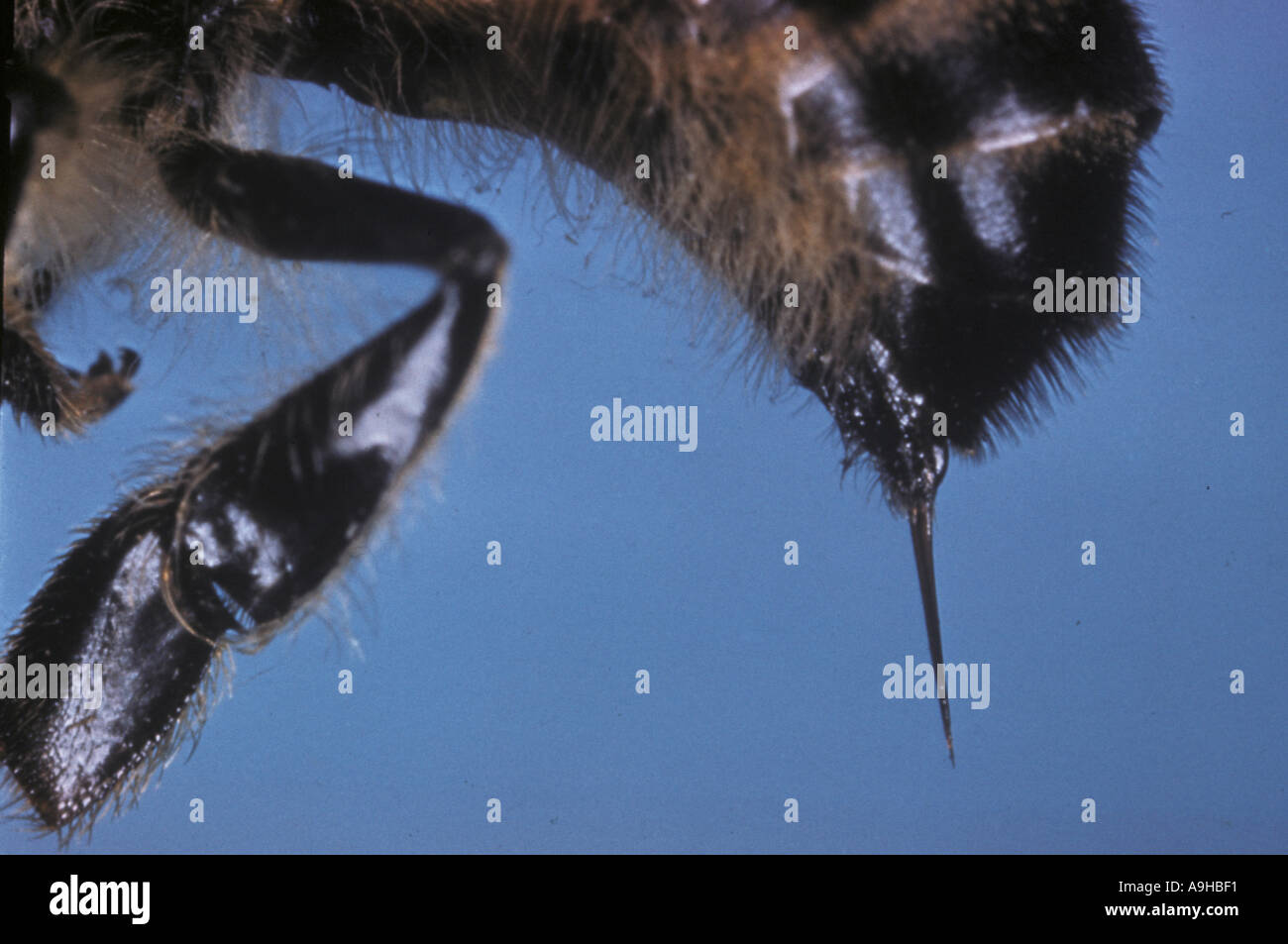 Honey bee Sp Close up showing sting - Stock Image