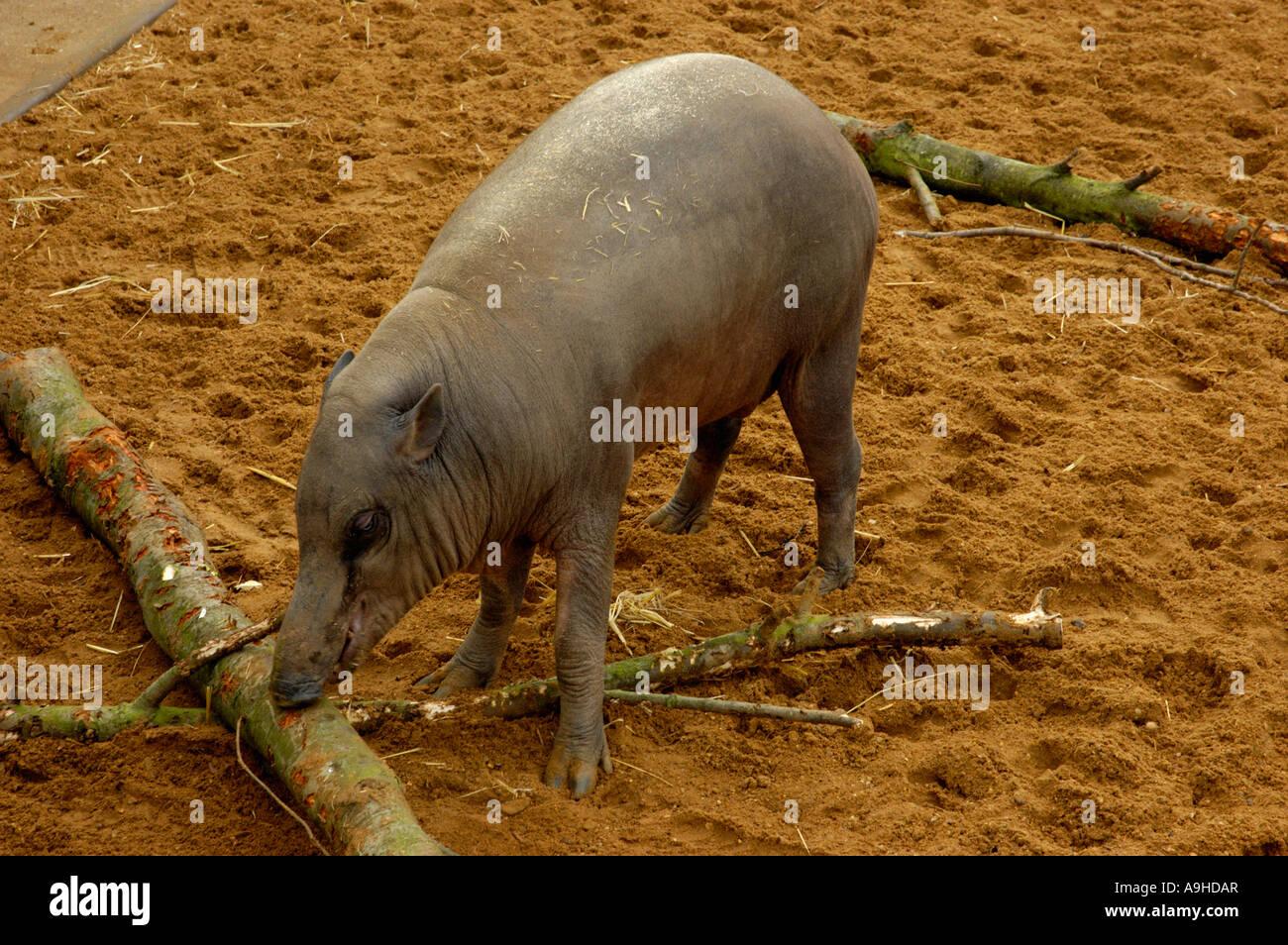 Babirusa sulawesi - Stock Image