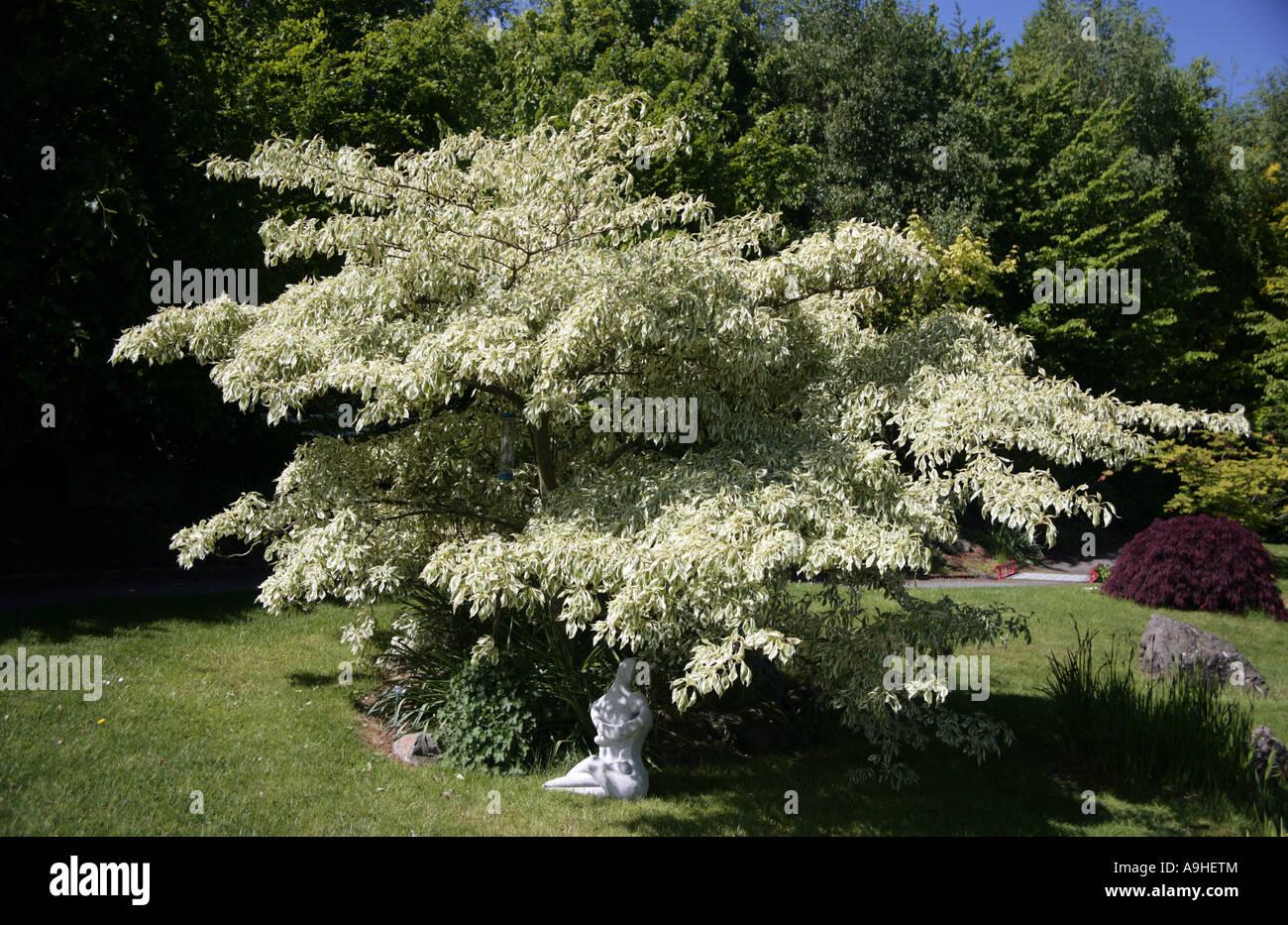 Wedding Cake Tree Cornus Controversa Variegata