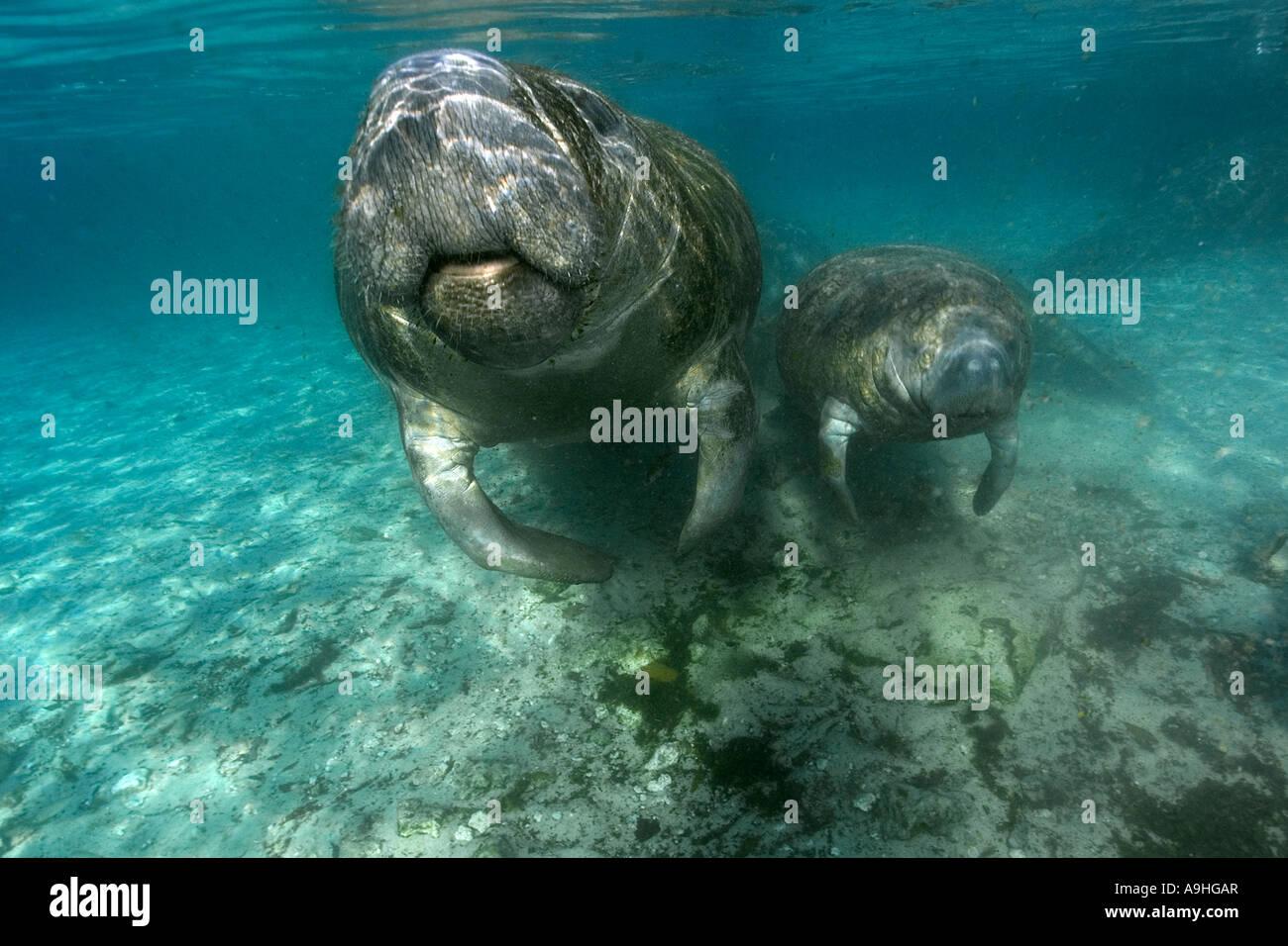 Florida manatee Trichechus manatus latirostris mother and calf surfacing to breathe Crystal River Florida USA - Stock Image
