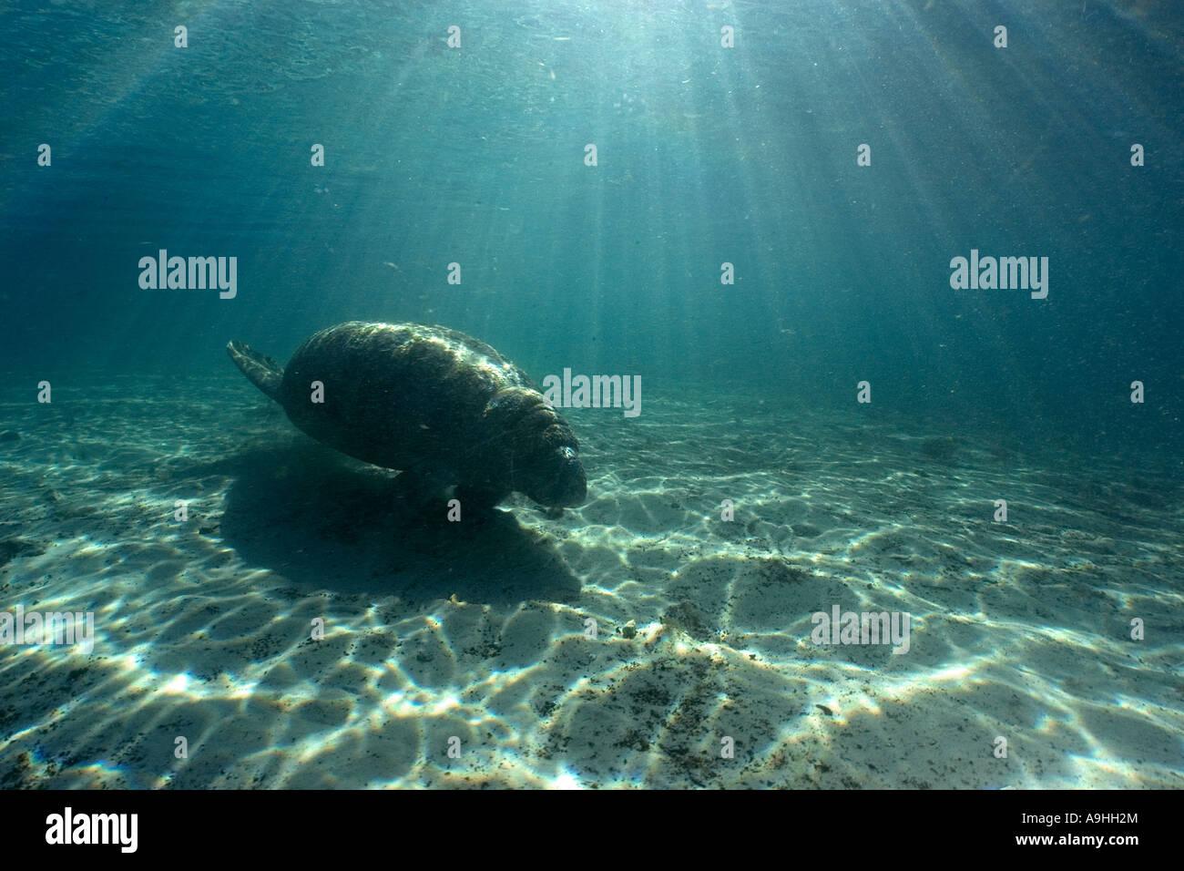 Florida manatee Trichechus manatus latirostris Crystal River Florida USA - Stock Image