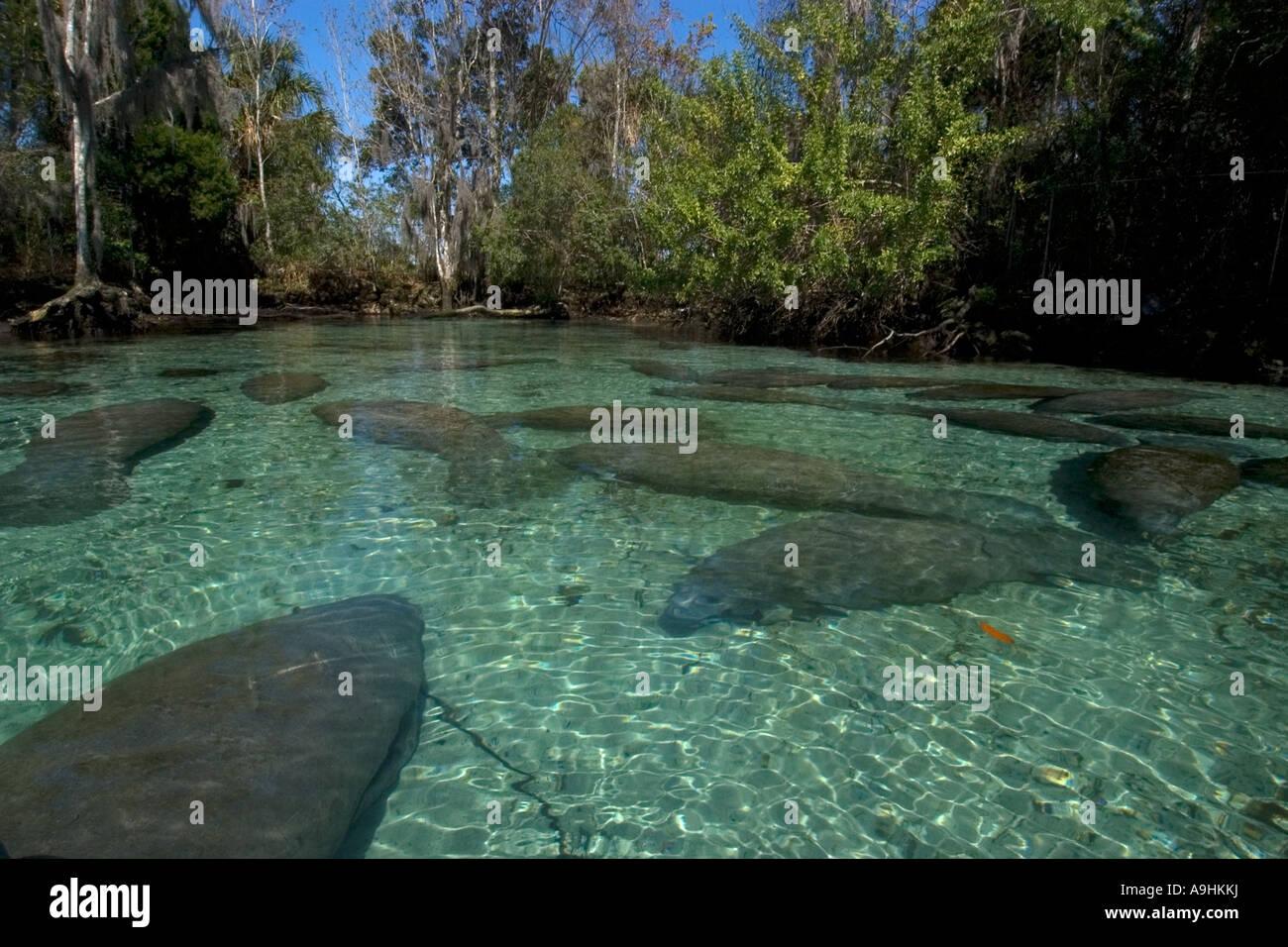 Florida manatees Trichechus manatus latirostris Crystal River Florida USA - Stock Image