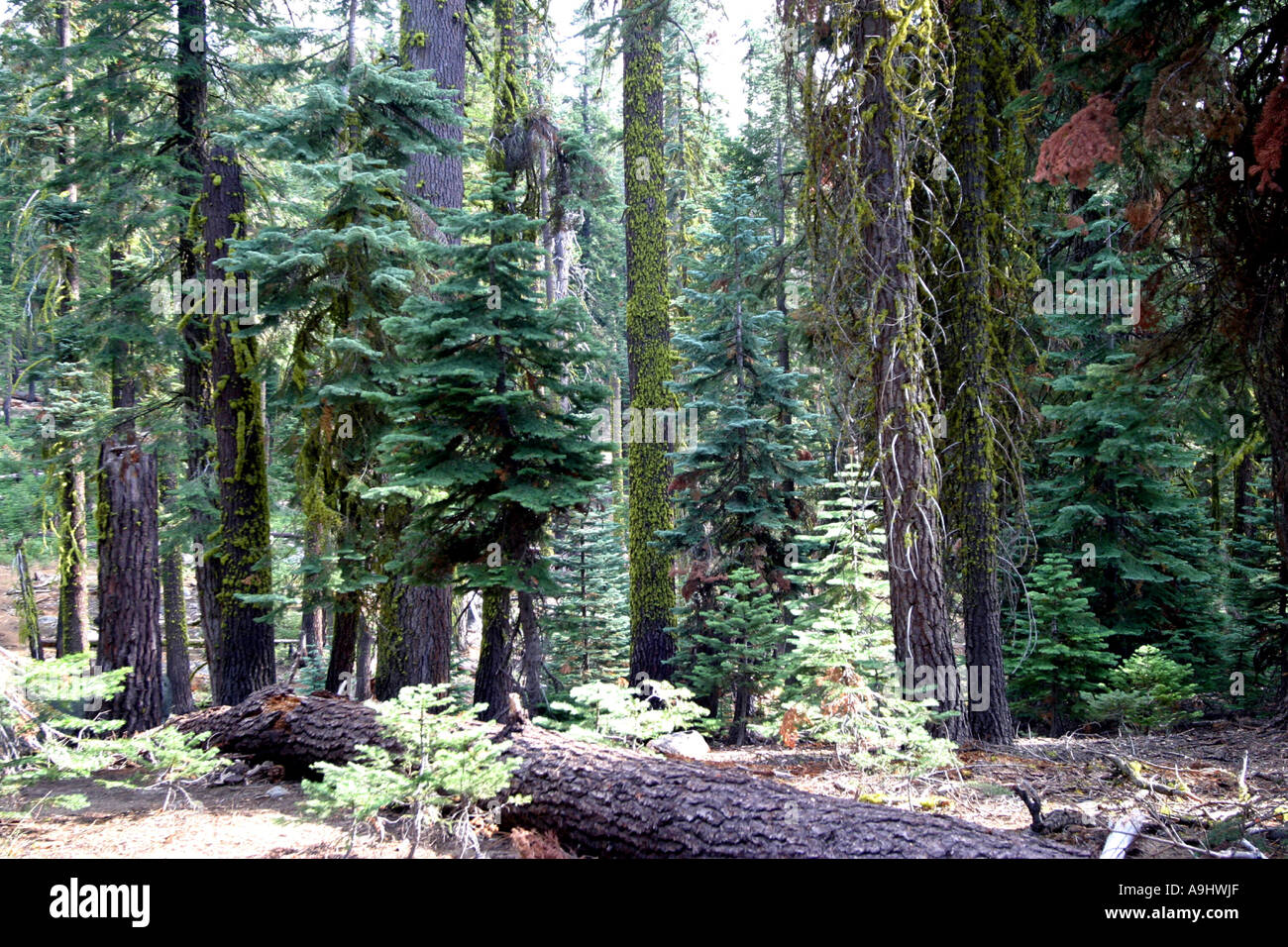 edge of the forest with Californian Red Fir, Jeffreys Pine and Silver Fir (Abies magnifica, Pinus jeffreyi, Abies - Stock Image