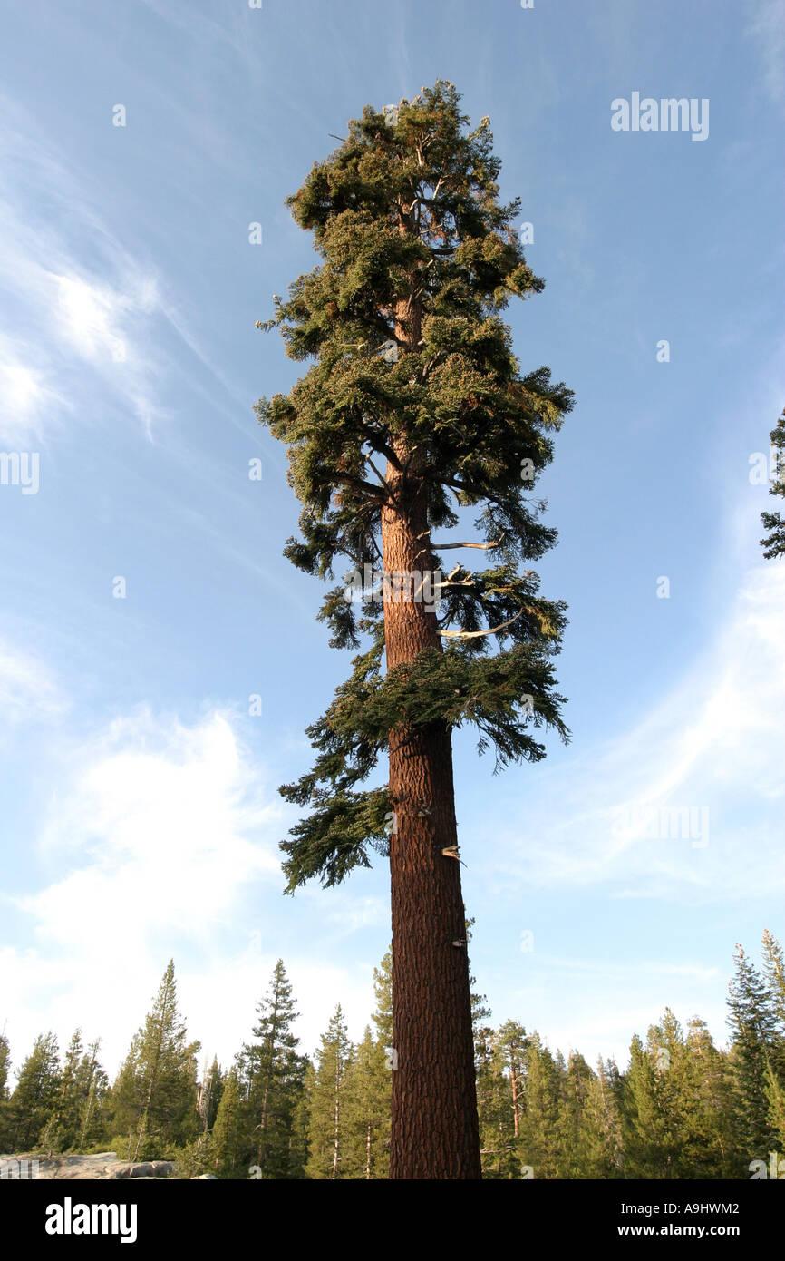 California red fir (Abies magnifica), USA, California - Stock Image