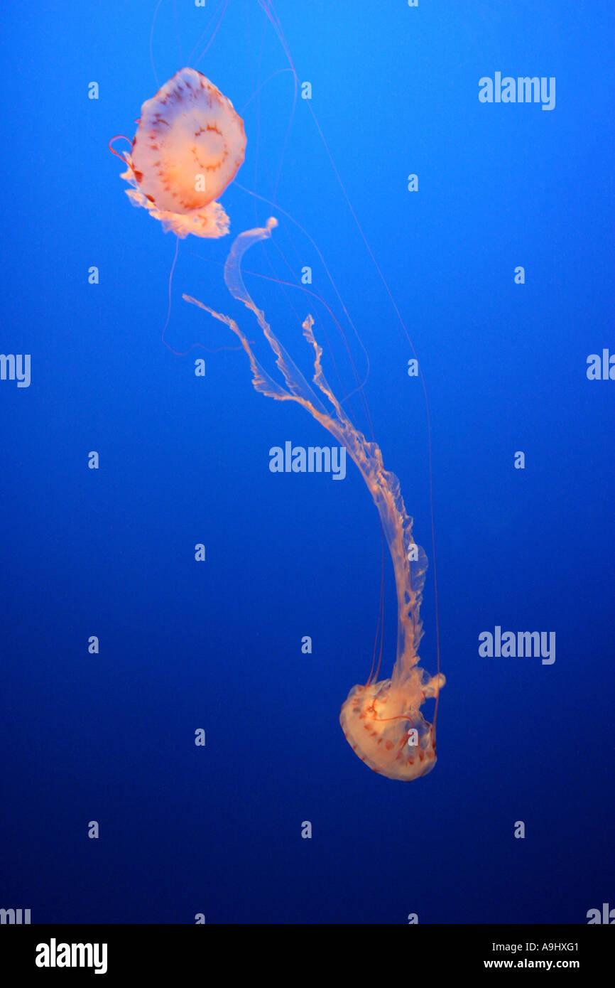 compass jellyfish, red-banded jellyfish (Chrysaora hysoscella), USA, California Stock Photo