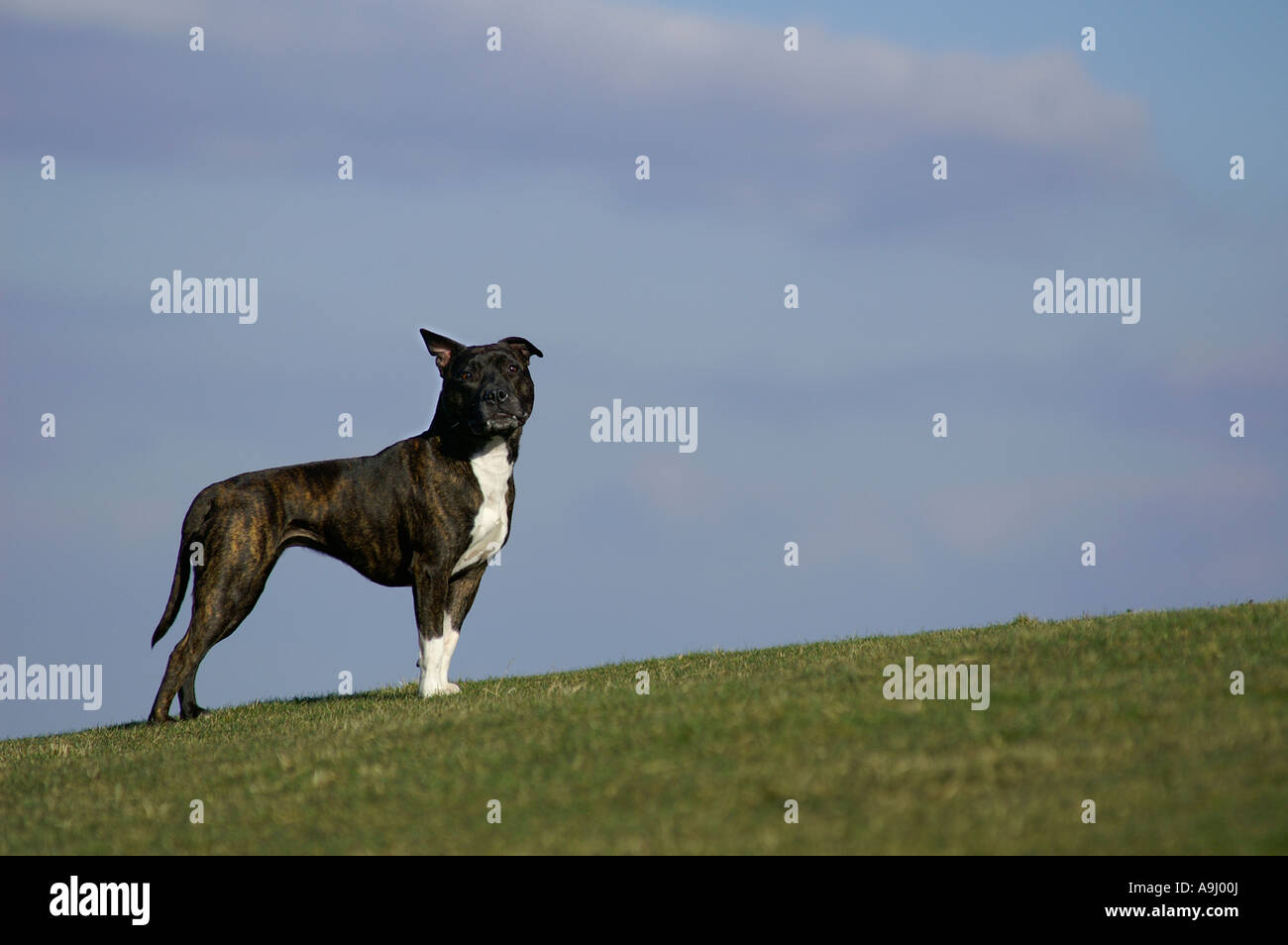 American Staffordshire Terrier Pitbull side - Stock Image